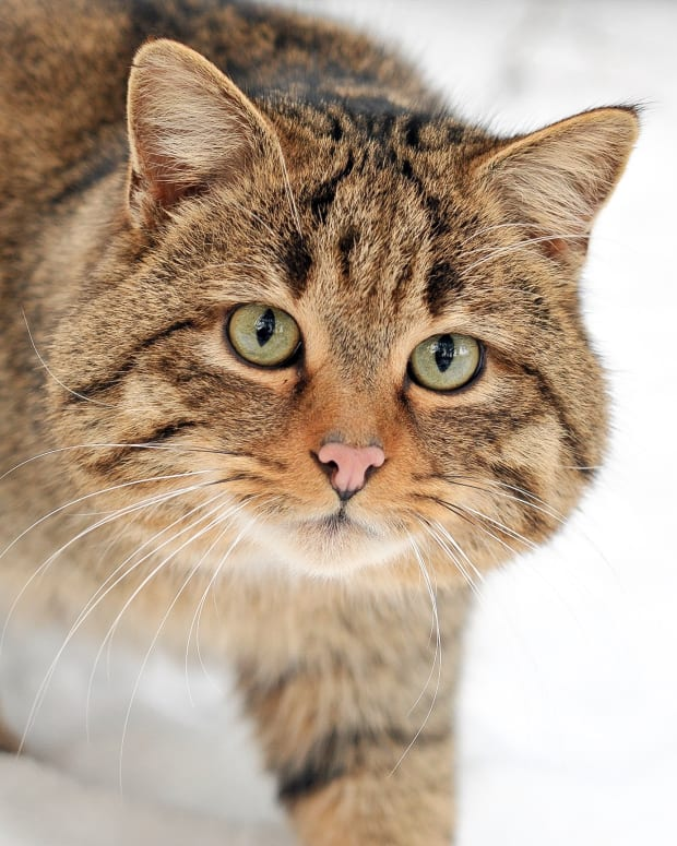 scottish-wildcats-powerful-hunters-and-endangered-animals