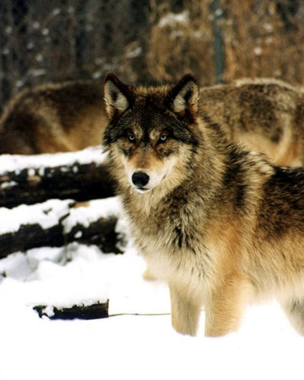 how-to-keep-coyotes-foxes-and-wolves-out-of-your-yard-and-livestock