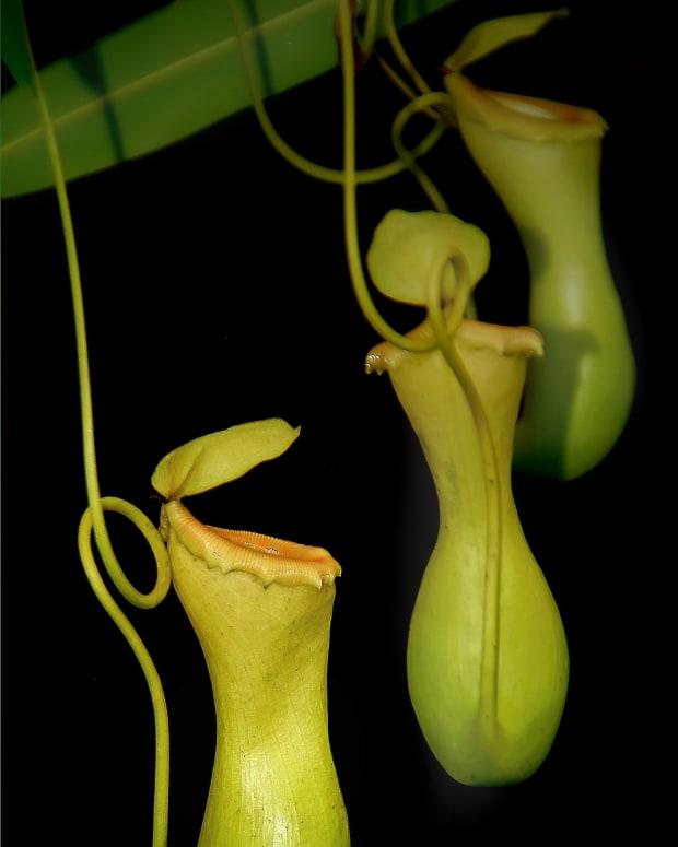 the-pitcher-plant-a-poem