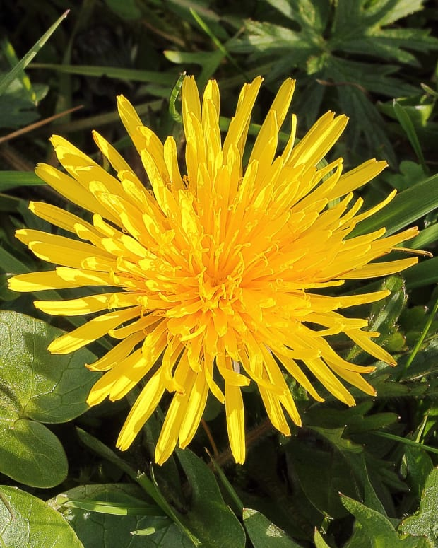 natural-latex-and-rubber-from-common-and-russian-dandelions