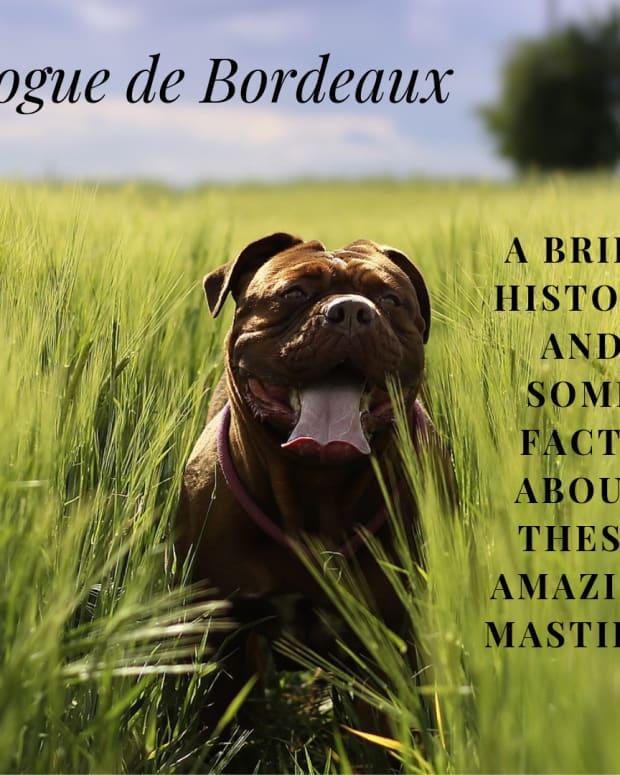 dogue-de-bordeaux