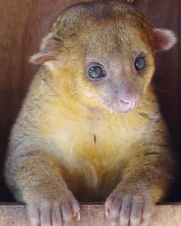 the-kinkajou-or-honey-bear-a-rainforest-mammal-and-exotic-pet