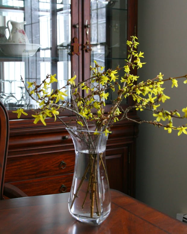 forcing-forsythia-how-to-make-forsythia-branches-bloom-indoors