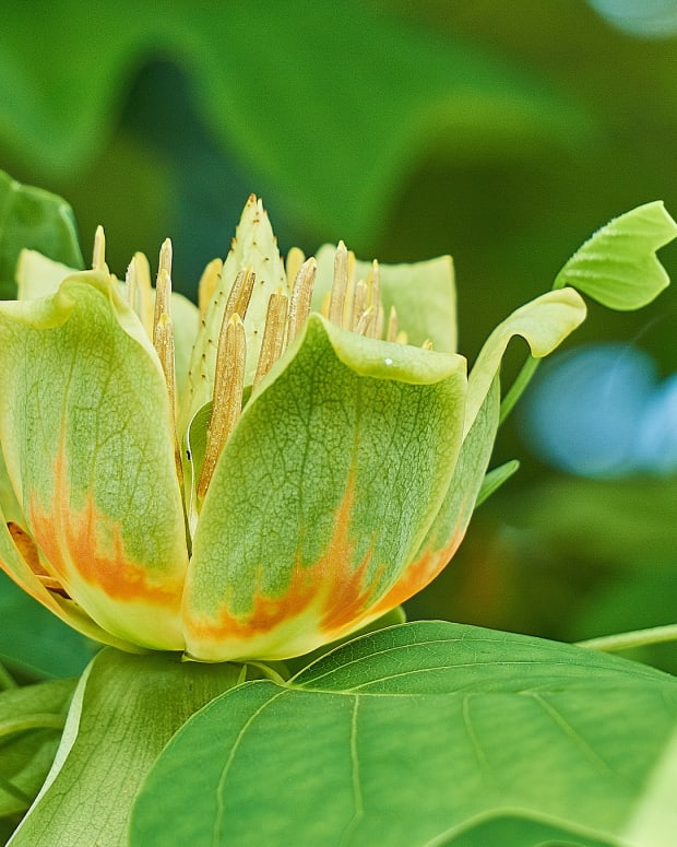 how-to-care-for-tulip-trees