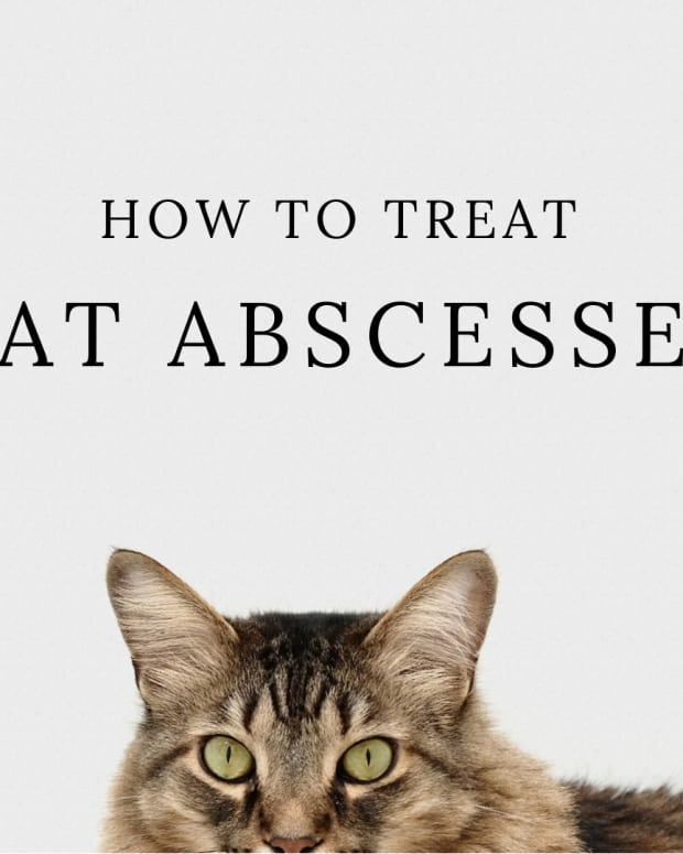 how-to-treat-cat-abscess-at-home