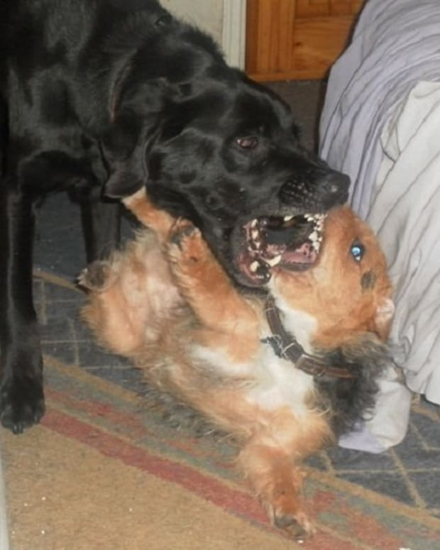 how-can-i-tell-if-my-dog-is-playing-or-fighting