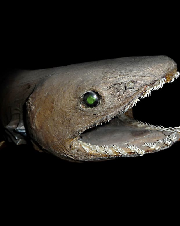 frilled-shark-facts-a-strange-and-fascinating-fish-of-the-deep