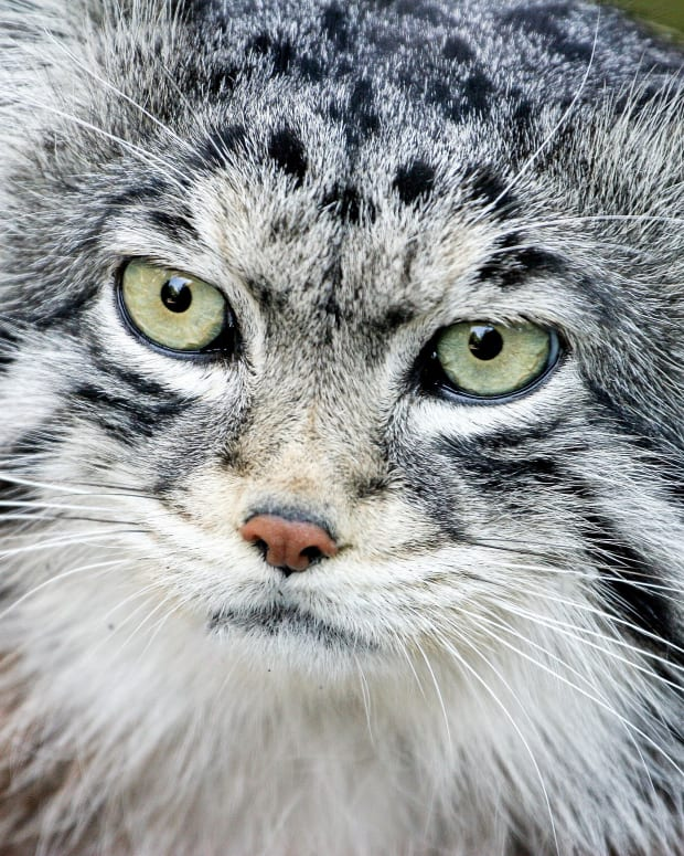 the-pallas-cat-or-manul-facts-conservation-and-toxoplasmosis
