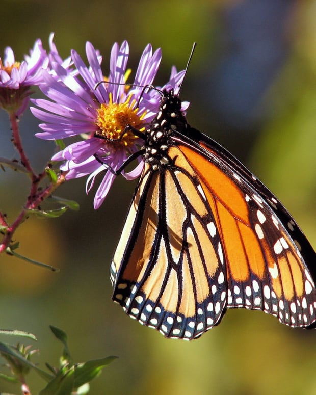 save-monarch-butterflies-plant-milkweed