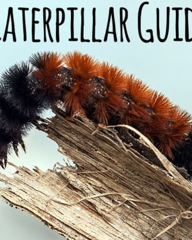 furry-caterpillar