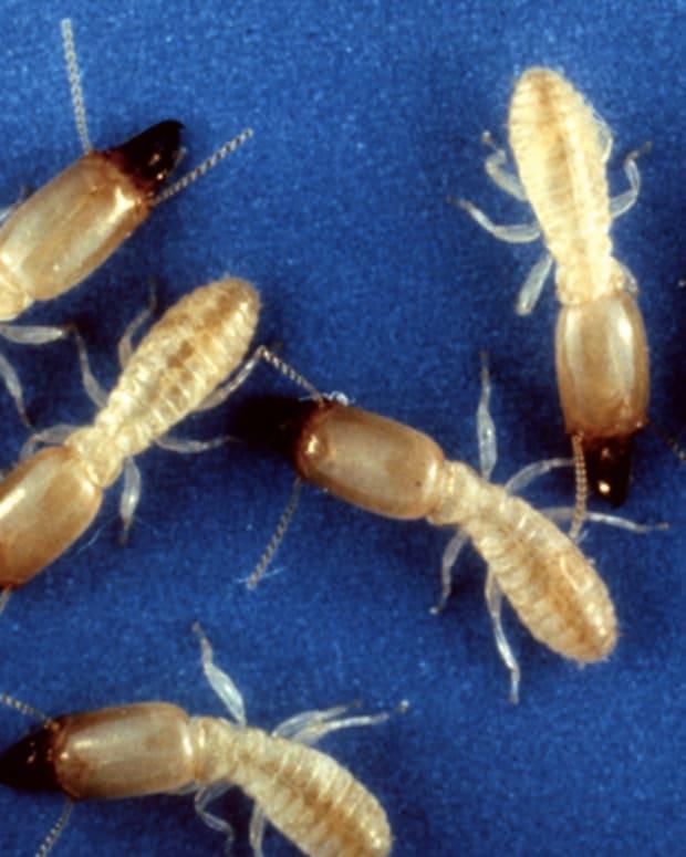 termite-or-ant
