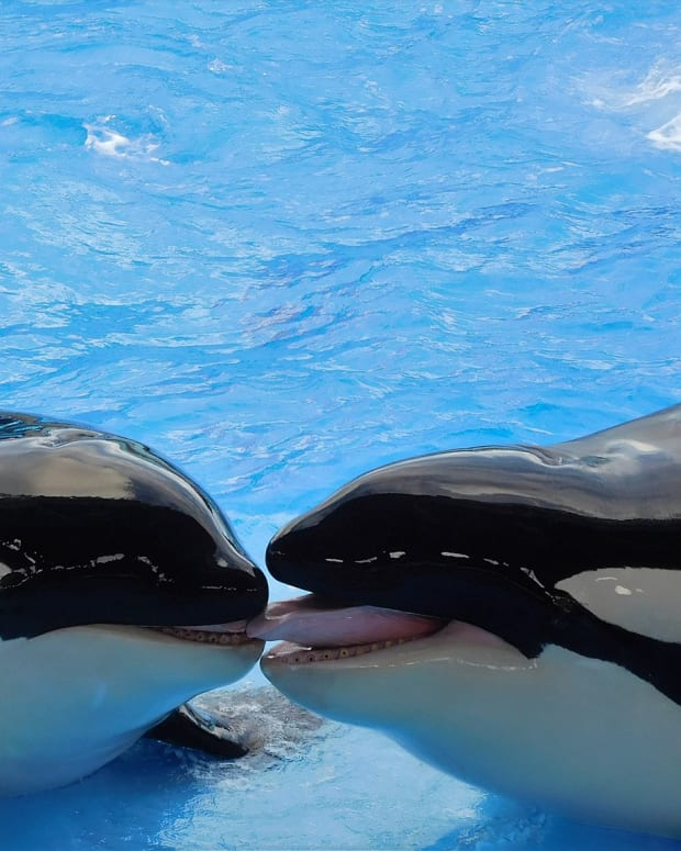 why-orcas-should-not-be-kept-in-captivity
