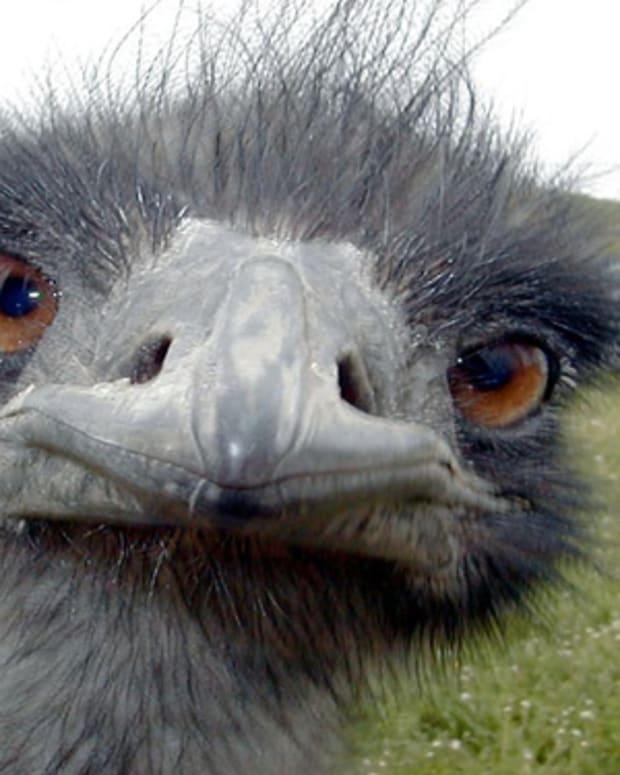 australias-emu-war