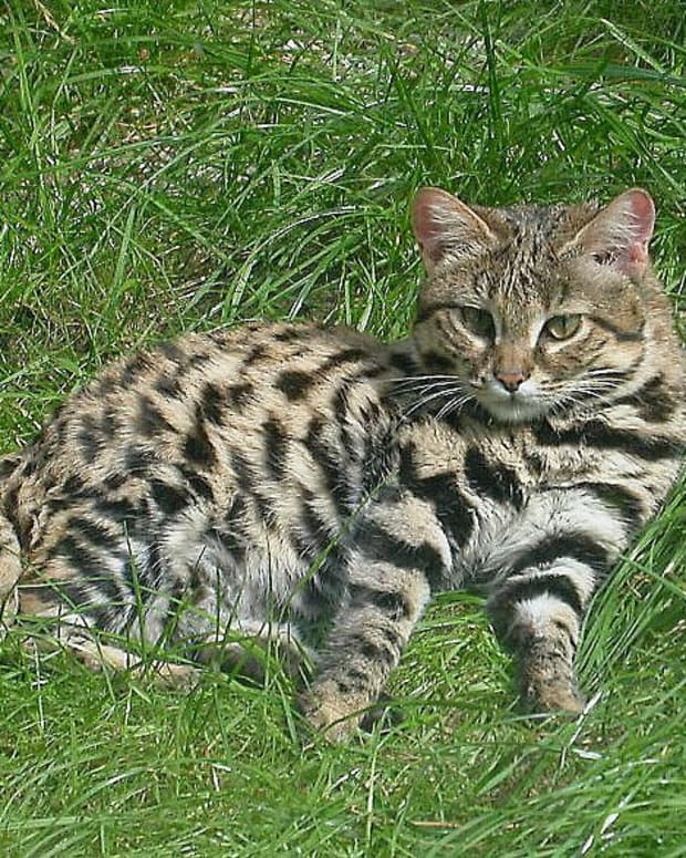 the-african-black-footed-cat-small-wild-beautiful-and-vulnerable