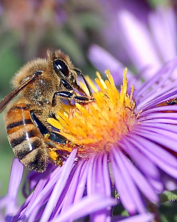 imidacloprid-a-pesticide-and-honeybee-colony-collapse-disorder