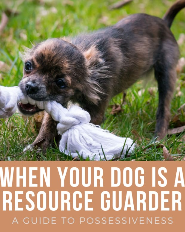 understanding-dog-resource-guarding-a-guide-to-possessiveness-over-food-bones-beds-and-toys