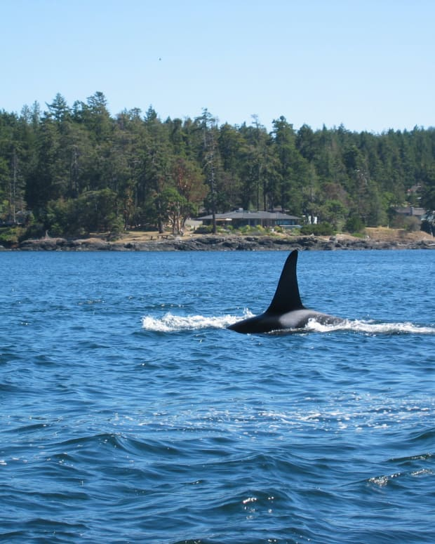 -whale-watching-in-the-san-juan-islands