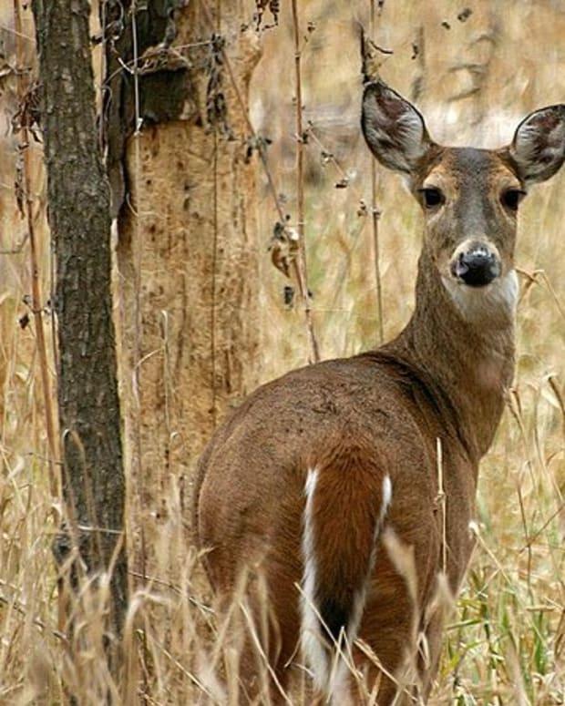 deer-shining-in-wisconsin