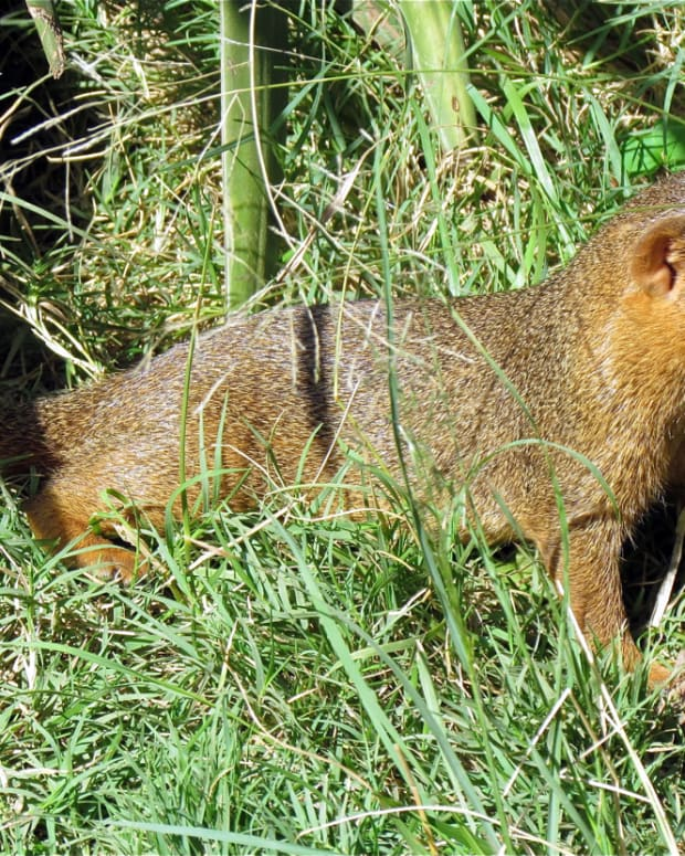 the-dwarf-mongoose-the-smallest-carnivore-in-africa-and-its-social-life