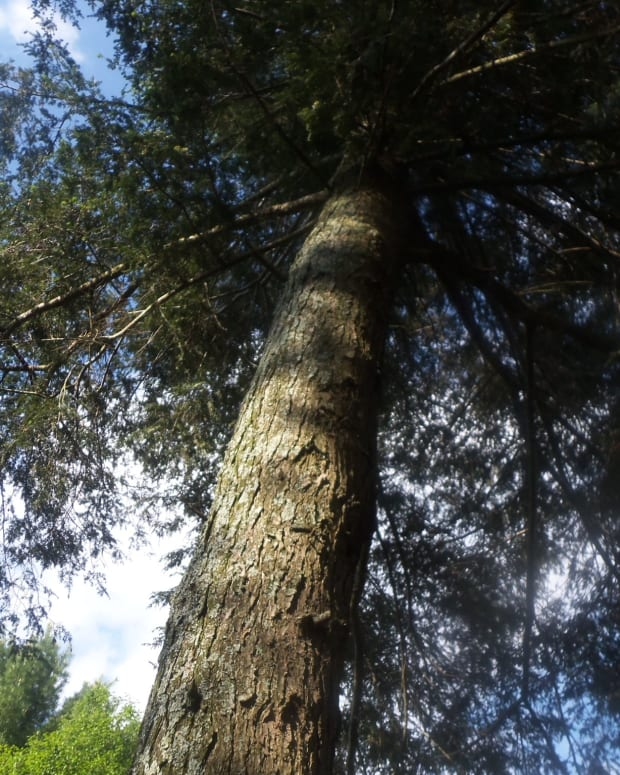why-the-eastern-hemlock-tree-is-endangered-can-the-hemlocks-be-saved