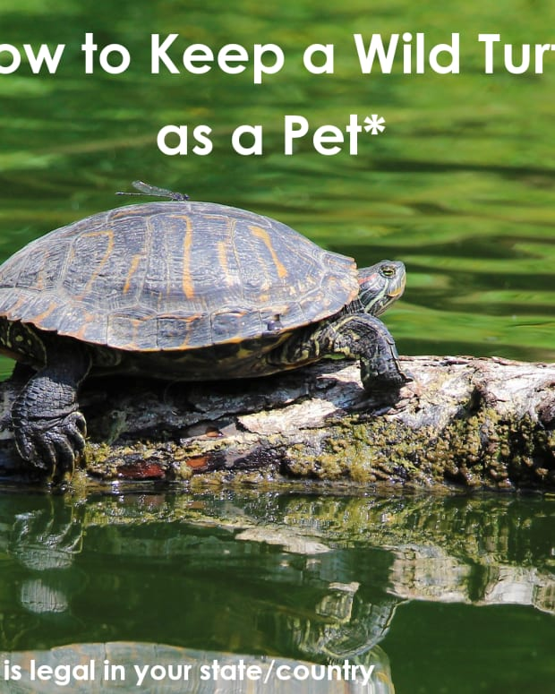 how-to-keep-a-wild-turtle-as-a-pet