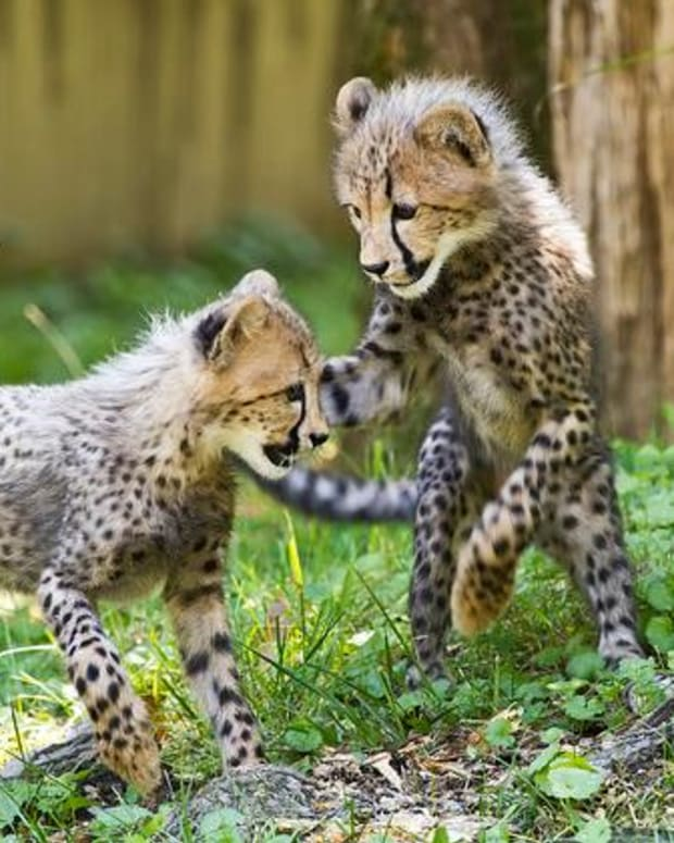about-pet-cheetahs