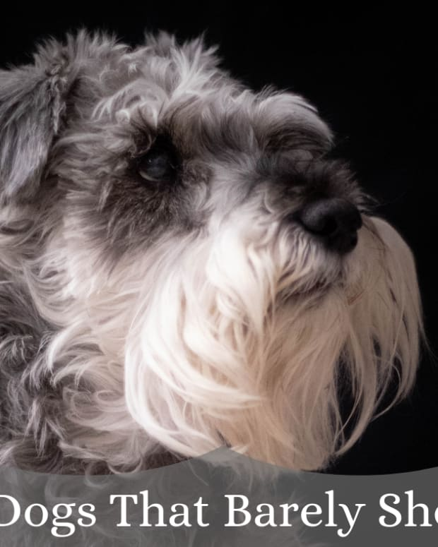 six-great-dog-breeds-that-dont-shed