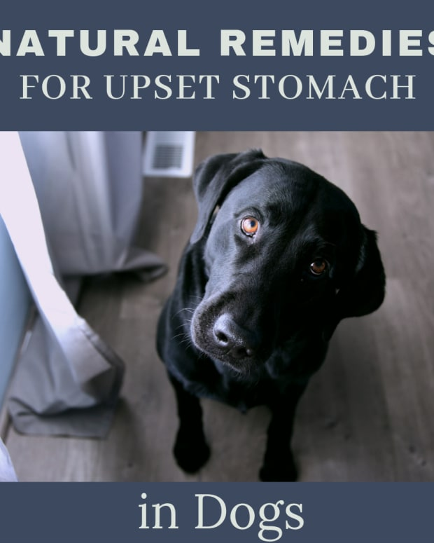 how-to-treat-your-dogs-upset-stomach-naturally