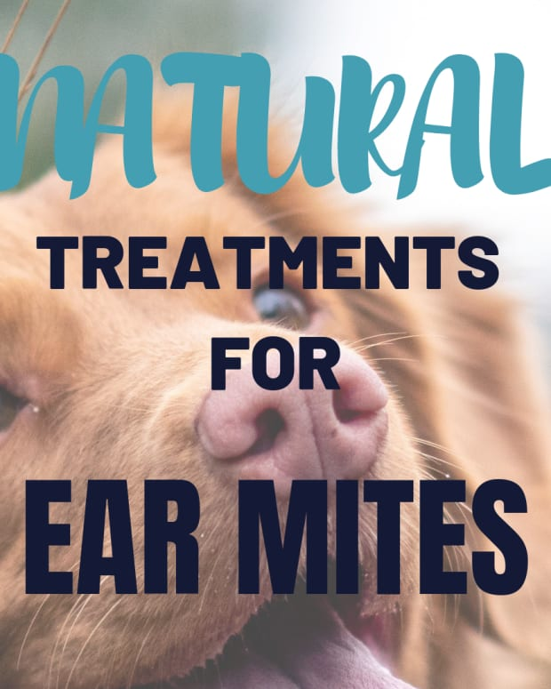how-to-treat-your-dogs-ear-mites-naturally