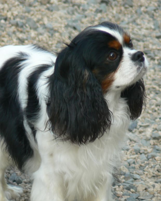 top-5-reasons-to-own-a-cavalier-king-charles-spaniel