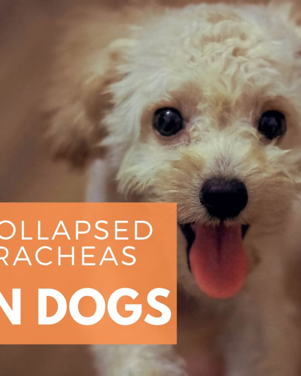 dog-health-understanding-collapsed-trachea-in-dogs