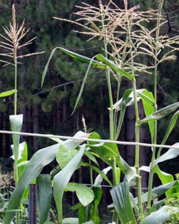 sweetcorntipsgrowingplanting