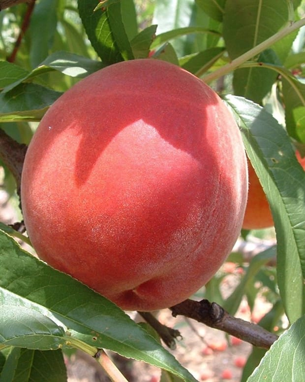 how-to-recognize-manage-and-prevent-peach-leaf-curl-on-your-peach-trees