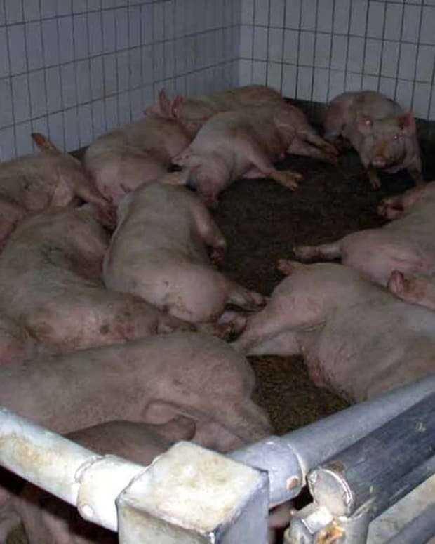 the-problem-with-cafos-unsustainable-confined-animal-feeding-operations