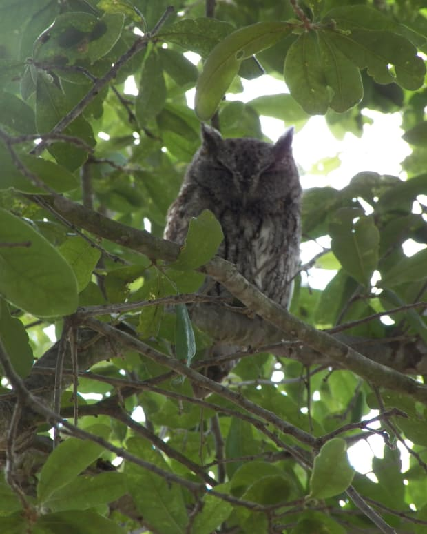 kids-learn-about-screech-owl-banding-in-central-texas