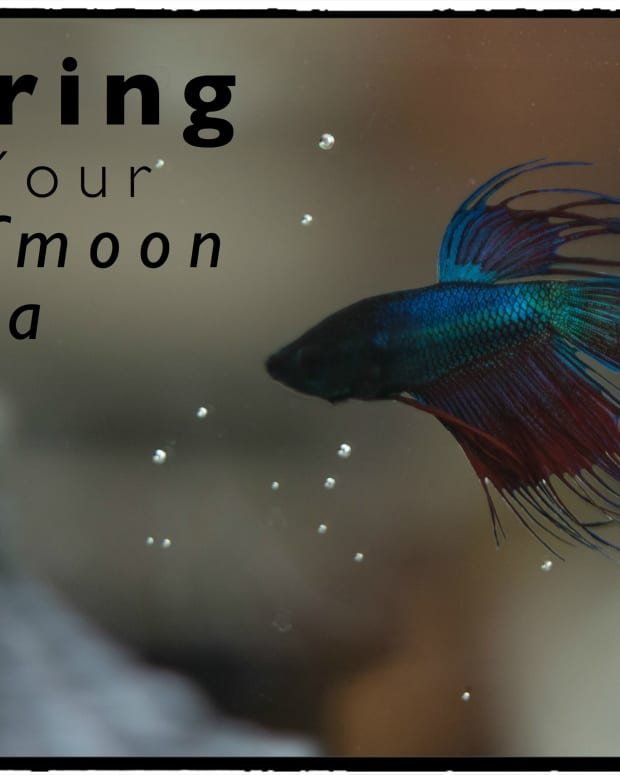 betta-fish-halfmoon-betta-fish-care-and-tips
