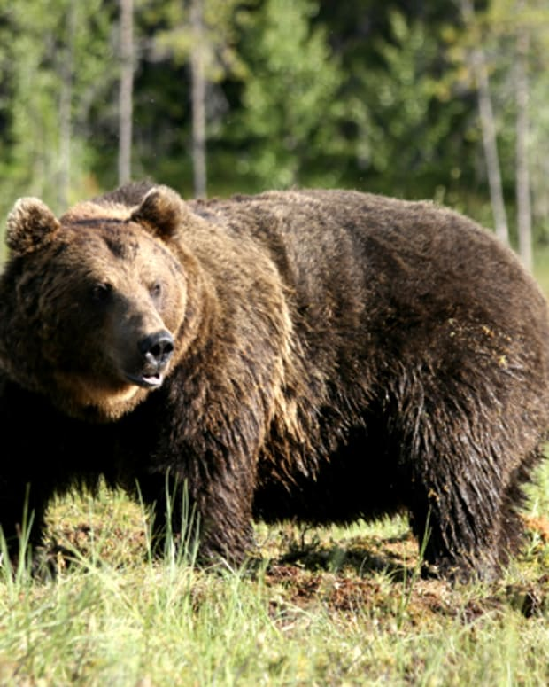 the-eurasian-brown-bear