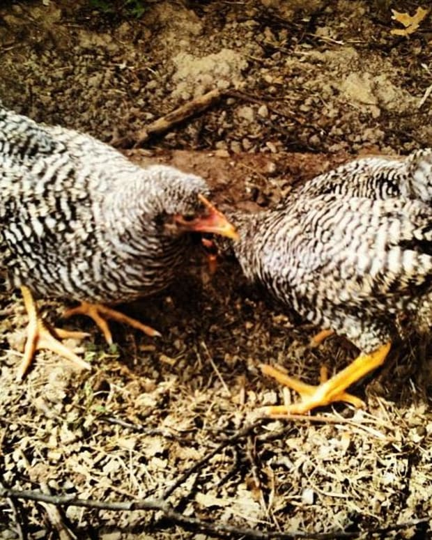 the-plymouth-barred-rock-chicken