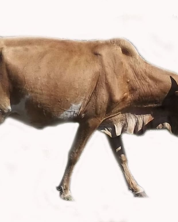 traditional-uses-of-a-cow