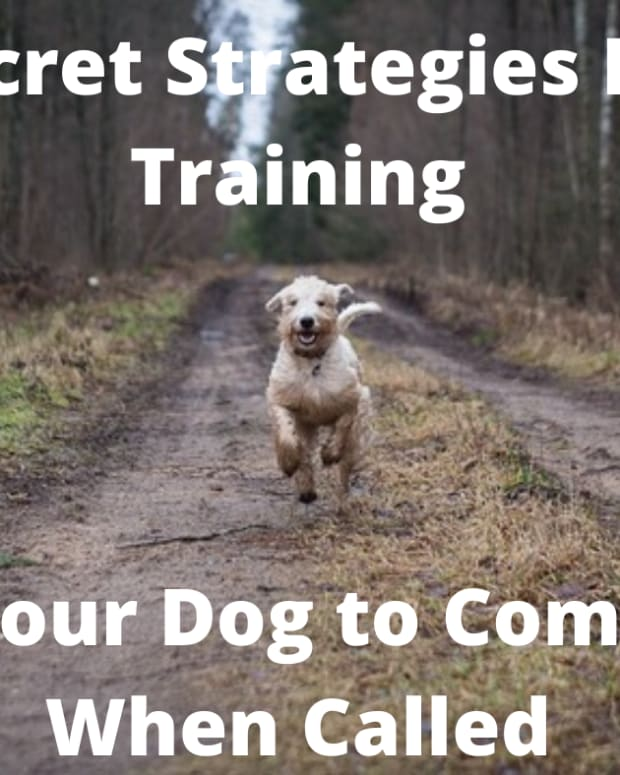 secret-strategies-for-training-your-dog-to-come-when-called