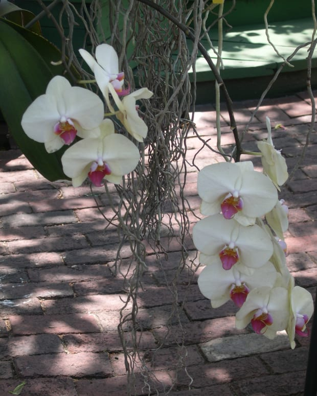 how-to-graft-a-phalaenopsis-orchid-to-a-tree
