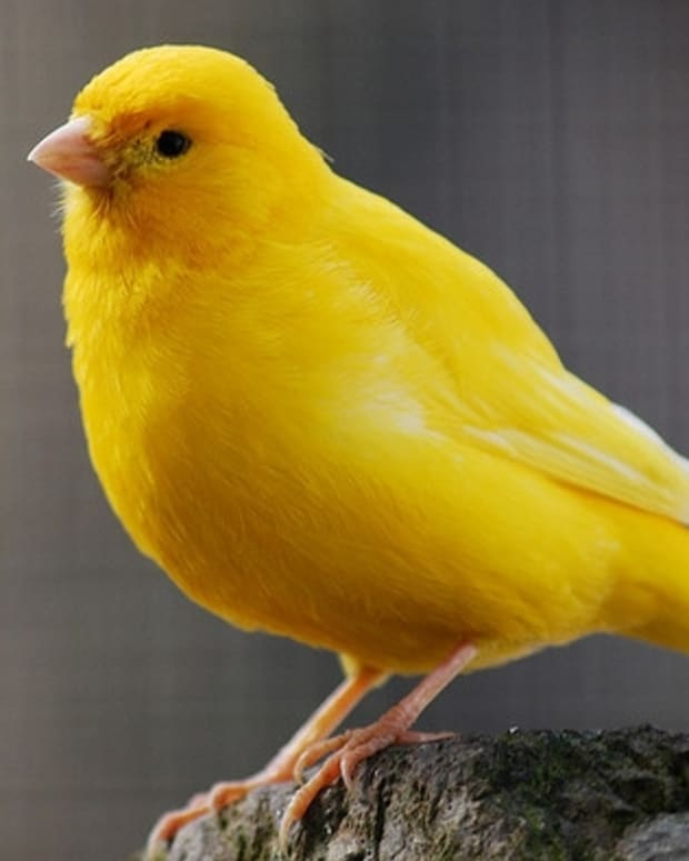 all-about-canaries-diseases-of-a-canary