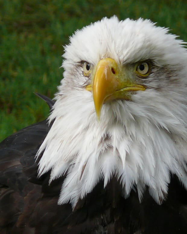 birds-of-prey-the-bald-eagle