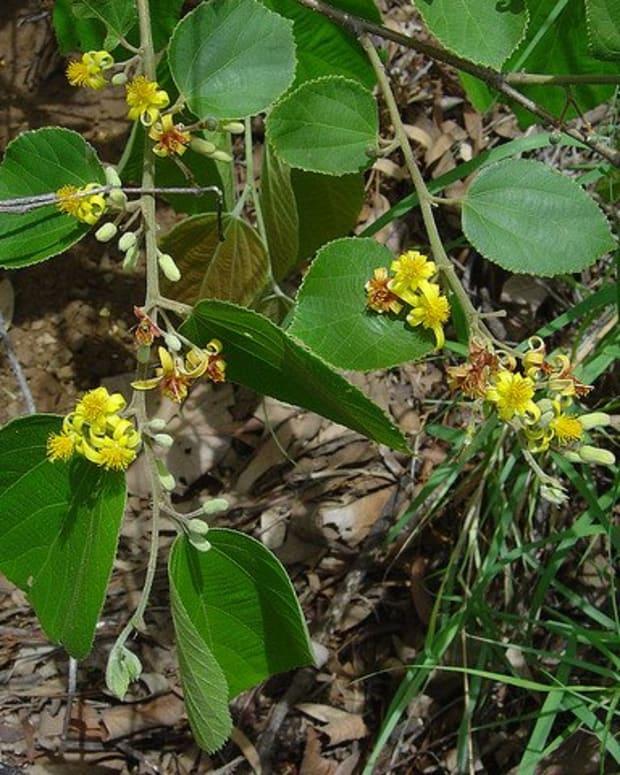 phalsa-or-falsa-fruit-and-its-health-benefits
