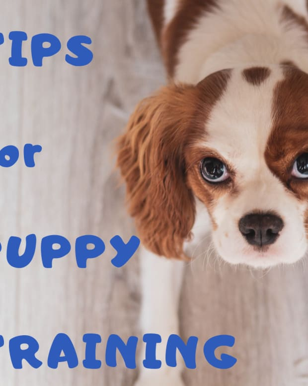 puppy-training-tips-toilet-training-and-whining
