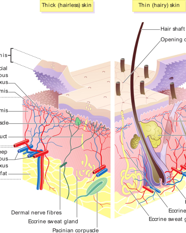 the-many-functions-of-human-skin