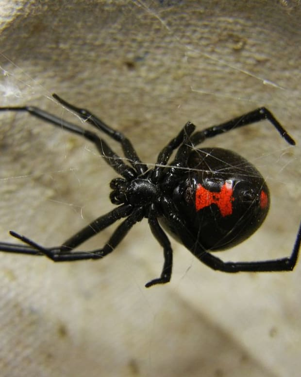 poisonous-spiders-in-north-carolina