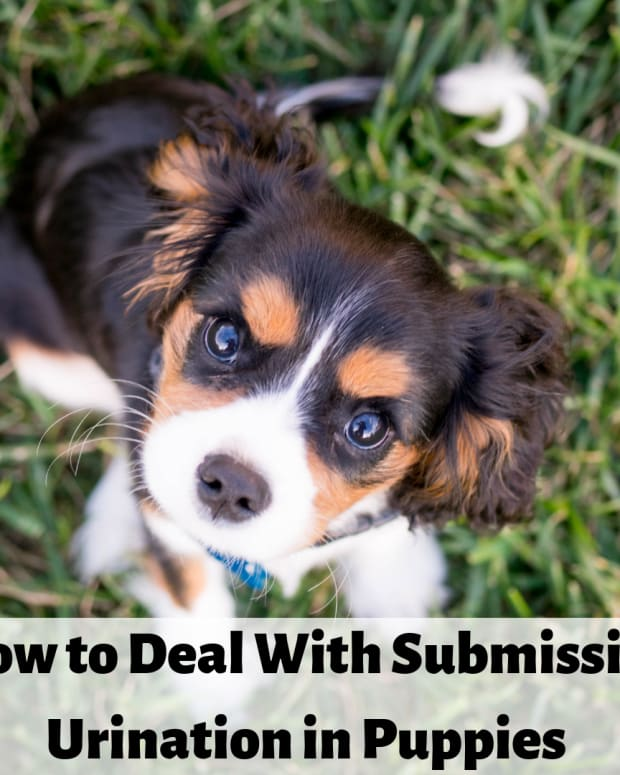 dog-behavior-how-to-deal-with-submissive-urination