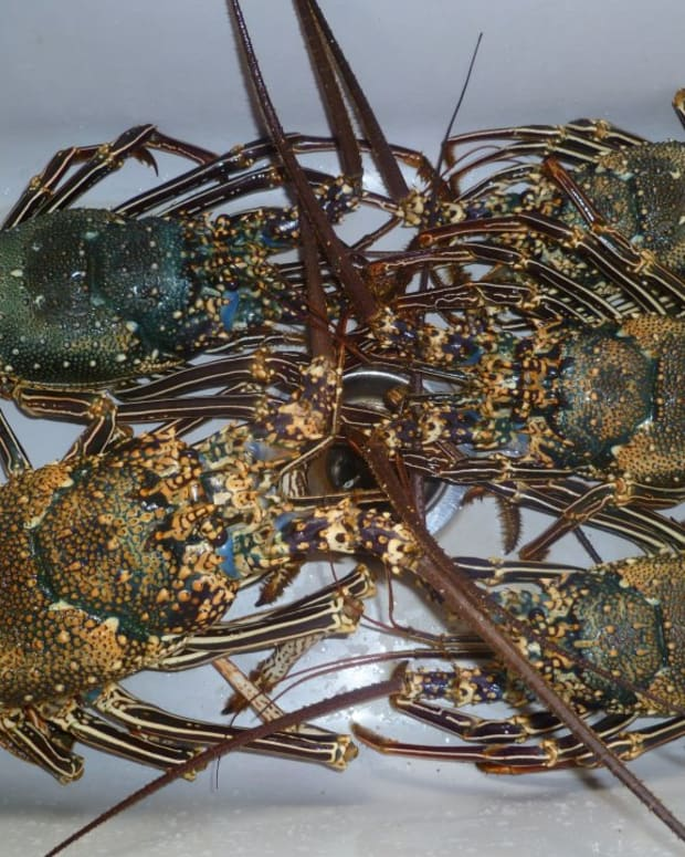 childhood-memories-of-the-hawaiian-spiny-lobster