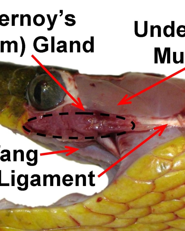 A deceased Brown Tree Snake (Boiga irregularis), with the skin removed to clearly show the venom (Duvernoy's) gland (which is not covered by muscle), the ligament attached to it, and one of the rear-fangs.